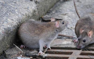 Hantavirus: la Provincia declaró alerta epidemiológica